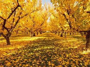 Fruit Trees Shed their Leaves after Harvest in Washington's Yakima Valley, Washington, Usa by Richard Duval