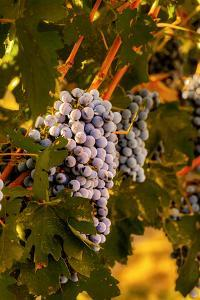 Grapes in Red Mountain Vineyard in Yakima Valley, Washington, USA by Richard Duval