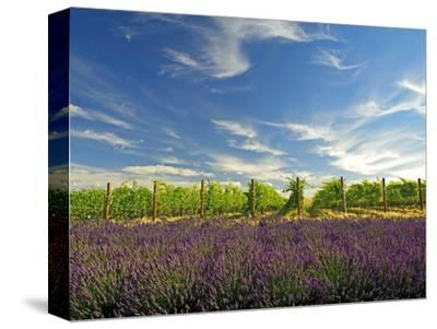 Lavender Field and Vineyard, Walla Walla, Washington, USA