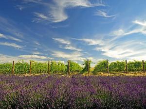 Lavender Field and Vineyard, Walla Walla, Washington, USA by Richard Duval