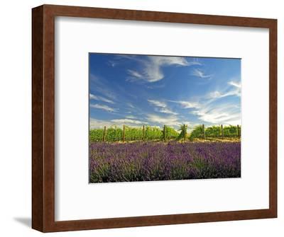 Lavender Field and Vineyard, Walla Walla, Washington, USA