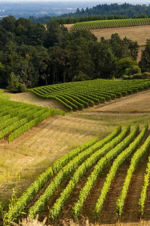Oregon, Dundee. Vineyard in Dundee Hills