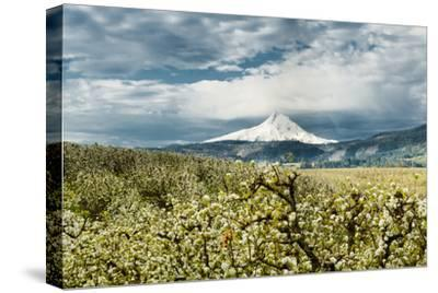 USA, Oregon, Hood River. Mt. Hood Looms over Apple Orchard