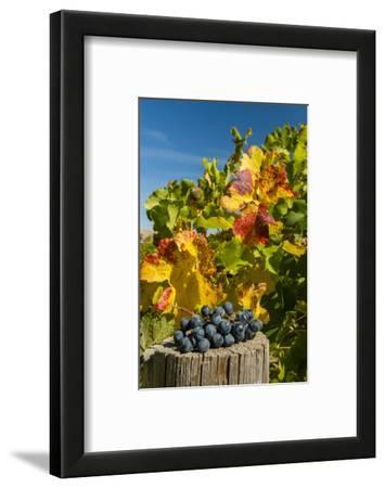 USA, Washington. Merlot Grapes in Eastern Washington Vineyard