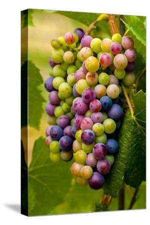 USA, Washington, Okanogan Valley. Pinot Grapes in Veraison in Vineyard