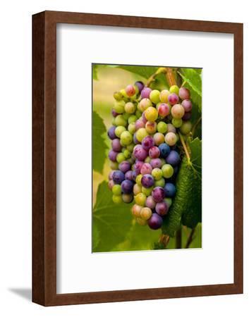 USA, Washington, Okanogan Valley. Pinot Grapes in Veraison in Vineyard