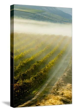 USA, Washington, Pasco. Fog and Harvest in a Washington Vineyard