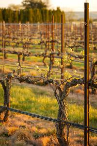 USA, Washington, Walla Walla. Bud Break in a Vineyard in Wine Country by Richard Duval