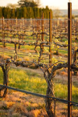 USA, Washington, Walla Walla. Bud Break in a Vineyard in Wine Country