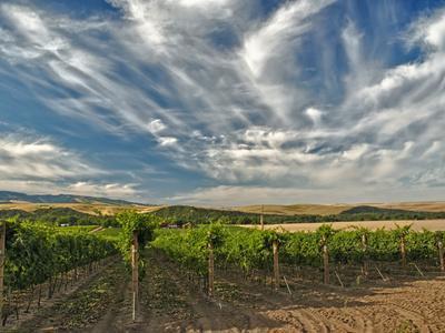Vineyard of Walla Walla Vintners, Walla Walla, Washington, USA
