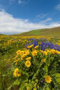 Washington, Columbia Hills SP. Spring Wildflowers at Columbia Hills SP by Richard Duval