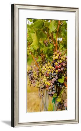Washington State, Mattawa. Cabernet Franc Grapes