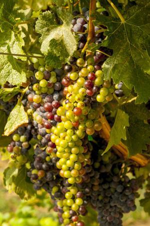Washington State, Mattawa. Cabernet Franc Grapes by Richard Duval