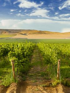 Washington State, Mattawa. Vineyard on the Wahluke Slope by Richard Duval