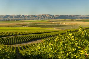 Washington State, Royal Slope. Vineyard in Washington's Columbia Valley by Richard Duval