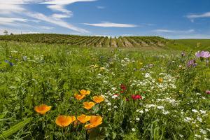 Wildflowers in Walla Walla Wine Country, Walla Walla, Washington, USA by Richard Duval