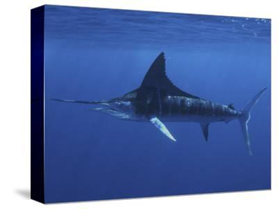 A Striped Marlin (Tetrapturus Audax), Magdalena Bay, Baja California, Mexico