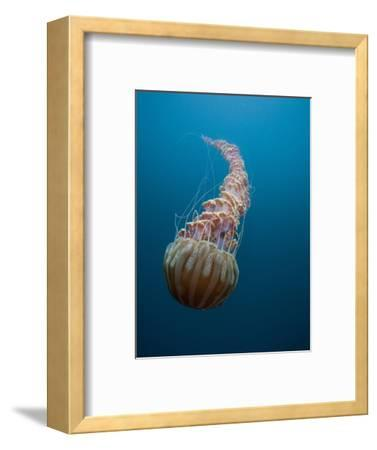 Black Sea Nettle (Chrysaora Achlyos), Los Coronados Islands, Baja California, Mexico