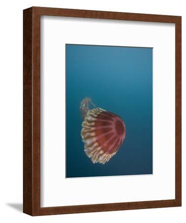 Black Sea Nettle (Chrysaora Achlyos) Los Coronados