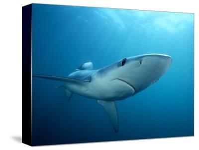 Blue Shark (Prionace Glauca), Southern California, USA