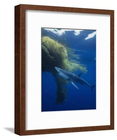 Blue Shark (Prionace Glauca) under a Mass of Drifting Kelp (Macrocystis), California, USA