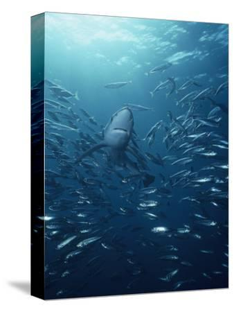 Blue Shark (Prionace Glauca) with a School of Jack Mackerel