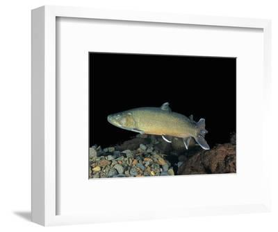 Bull Trout (Salvelinus Confluentus), a Threatened Species in Western United States