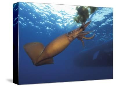 Humboldt Squid Nine-Mile Bank Off San Diego, California, Usa, Pacific Ocean