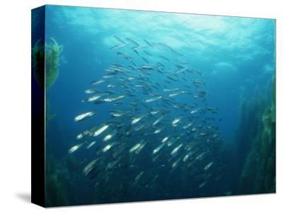 Mackerel School in a Kelp Forest. (Trachurus Symmetricus) San Clemente Island, California, USA