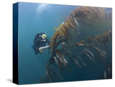 Marine Biologist and Diver Performing a Rockfish Survey in Giant Kelp Forest