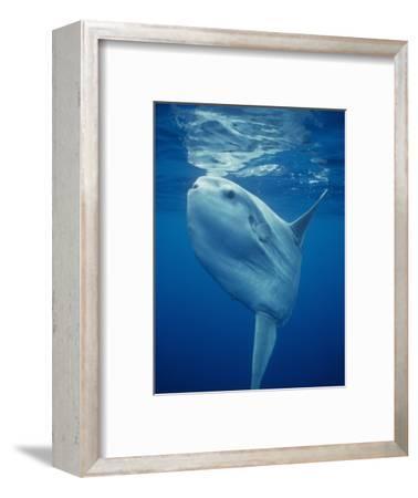 Ocean Sunfish (Mola Mola), the World's Largest Bony Fish, Pacific Ocean, California, USA