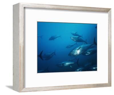 Pacific Bluefin Tuna (Thunnus Thynnus) Schooling, Ensenada, Baja California, Mexico