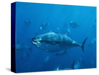 Pacific Bluefin Tuna (Thunnus Thynnus) Schooling, Mexico