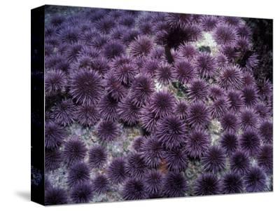 Purple Sea Urchin (Strongylocentrotus Purpuratus), Pacific Coast of North America