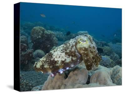 Reef Cuttlefish (Sepia), Milne Bay, Papua New Guinea