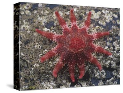 Rose Sea Star (Crossaster Papposus), Kodiak Island, Alaska, USA