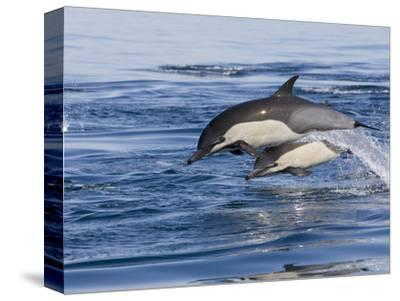 Short-Beaked Common Dolphin (Delphinus Delphis) Jumping and Splashing at Surface, Nine-Mile Bank
