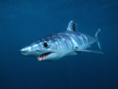 Shortfin Mako Shark (Isurus Oxyrinchus), California, USA by Richard Herrmann