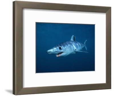 Shortfin Mako Shark (Isurus Oxyrinchus), California, USA