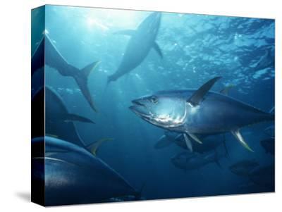 Yellowfin Tuna (Thunnus Albacares) in a Seine Net, Baja California, Mexico