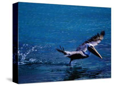 Brown Pelican (Pelecanus Occidentalis) Taking Flight, Ecuador