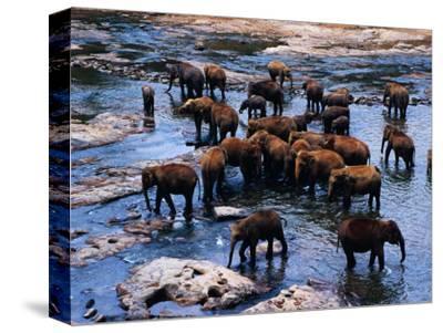 Elephants Bathing in River, Pinnewala Elephant Orphanage, Sri Lanka