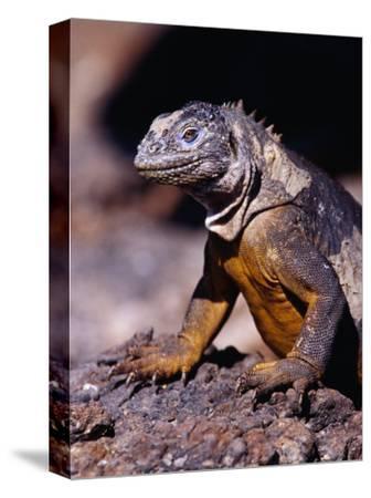 Galapagos Land Iguana (Conolophus Subcristatus), South Plaza Island, Ecuador
