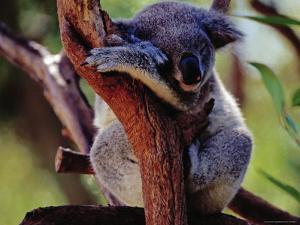 Koala at Brisbane's Alma Park Zoo by Richard I'Anson