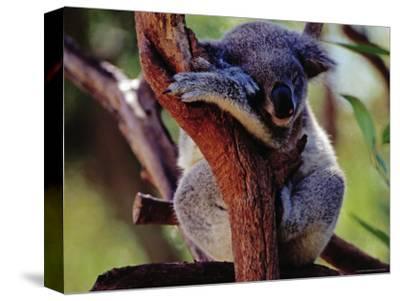 Koala at Brisbane's Alma Park Zoo