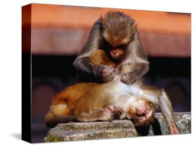 Monkeys at the Temple Complex, Pashupatinath, Bagmati, Nepal