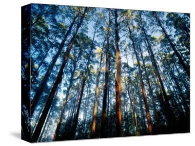 Mountain Ash Forest in Black Spur, Australia