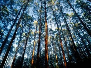 Mountain Ash Forest in Black Spur, Australia by Richard I'Anson