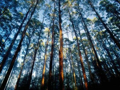 Mountain Ash Forest in Black Spur, Australia