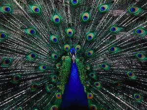 Peacock in Full Display, Quito, Pichincha, Ecuador, by Richard I'Anson